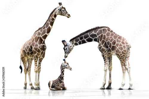 Poster Giraffe Familienglück