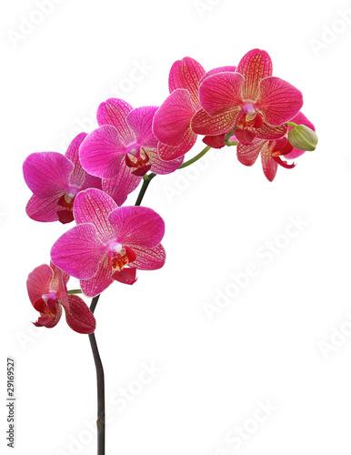 orchidea-na-bielu