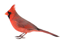 Northern Cardinal, Cardinalis Cardinalis, Isolated