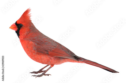 Northern Cardinal, Cardinalis cardinalis, Isolated Wallpaper Mural