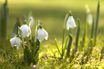 Fototapeta snowdrop flowers in morning, soft focus, perfect for postcard