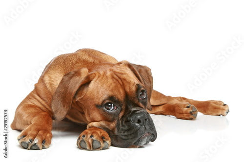 Photo  German Boxer puppy (5 month) lying on a white background