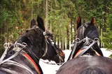 Fototapeta Zwierzęta - Koń