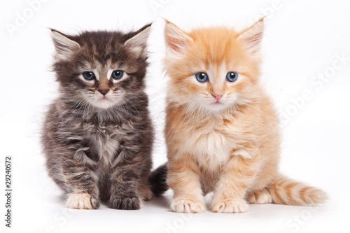 syberyjski-kot-odizolowywajacy-na-bielu