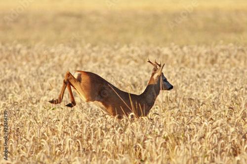 springender Rehbock im Getreidefeld