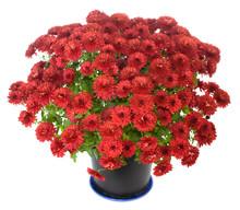 Purple Chrysanthemum N Flowerpot