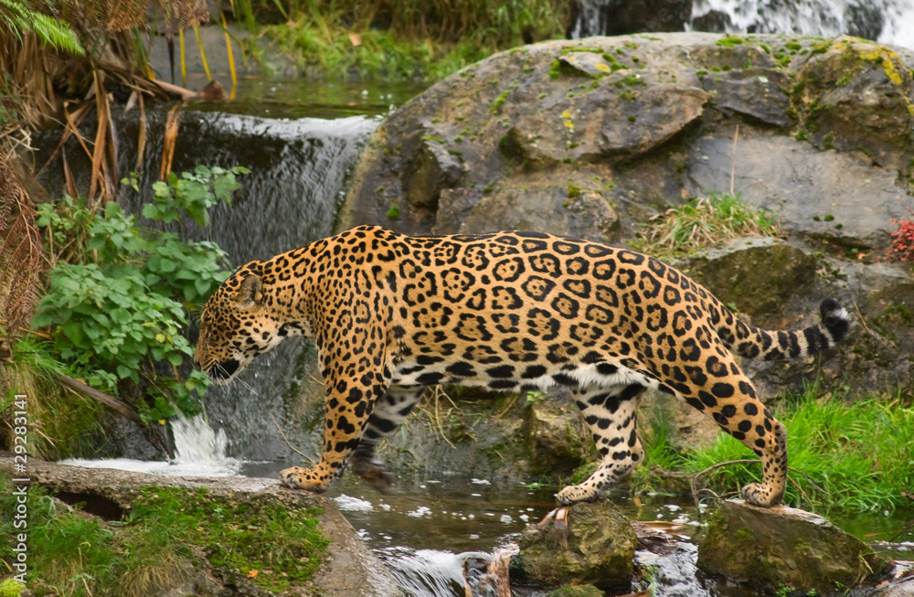 Photo & Art Print A jaguar (O  Onca) walks in the jungle-themed
