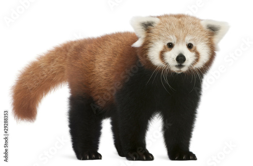Stickers pour portes Panda Young Red panda or Shining cat, Ailurus fulgens, 7 months old