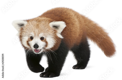 Stickers pour porte Panda young Red panda or Shining cat, Ailurus fulgens, 7 months old