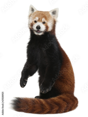 Stickers pour portes Panda Old Red panda or Shining cat, Ailurus fulgens, 10 years old