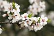canvas print picture - Fleurs d'arbre fruitier