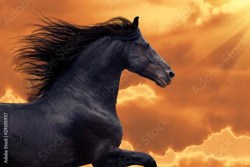 Fototapeta Portrait of galloping frisian horse obraz