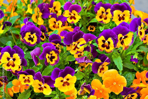 Stickers pour portes Pansies Pansies