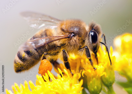 Spoed Foto op Canvas Bee Honey Bee