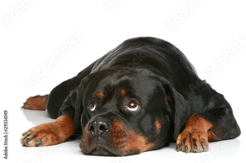 Stampa su Tela Rottweiler lying on a white background