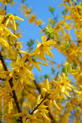 Cuadros en Lienzo forsythia flowers