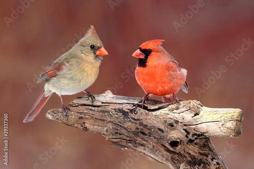 Aufkleber - Pair of Northern Cardinals
