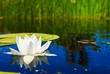 beautiful white lily in a river