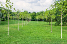 Rows Of Green Trees In The Park
