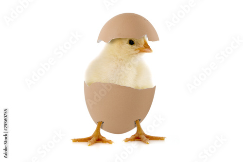 Fotografia  Kleines Küken im Ei