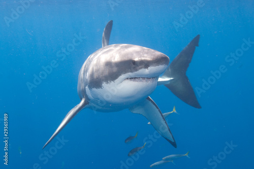 Fotografie, Obraz  Great White Shark at Guadalupe Island