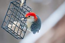 Red Bellied Woodpecker On Winter Feeder