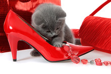 British Gray Kitten With Red Shoes.