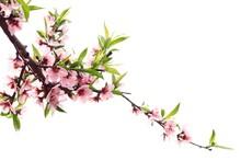 Spring Peach Blossom