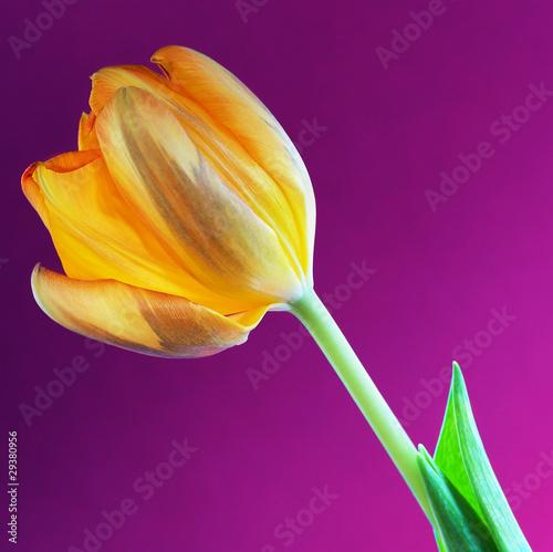 Fototapety, obrazy: orange tulpe vor violettem hintergrund