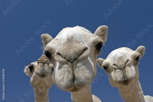 Keuken foto achterwand Kameel camels