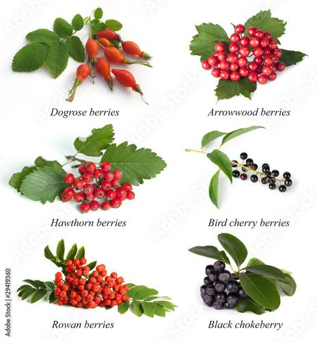 Fototapeta Hawthorn, rowan berry, dogrose,  arrowwood, bird cherry, black c