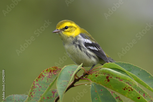 Aufkleber - Black-throated Green Warbler