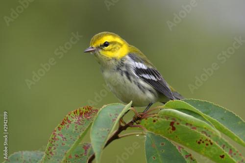 Sticker - Black-throated Green Warbler