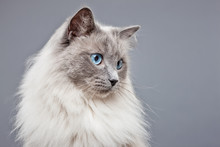Pedigree Ragdoll