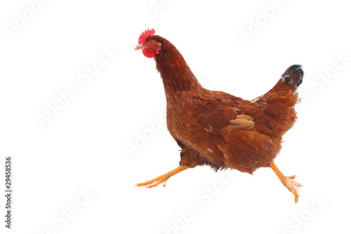 Running hen - isolated Canvas Print