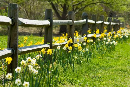 Deurstickers Narcis Daffodil Garden