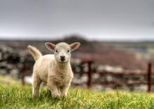Irish Lamb Running On The Grass