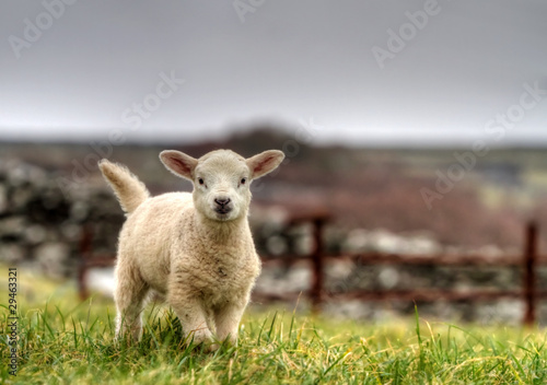 Photo sur Aluminium Sheep Irish lamb running on the grass