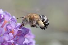 Blue Banded Bee, Amegilla Cingulata In Flight