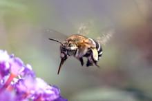 Blue Banded Bee, Amegilla Cing...