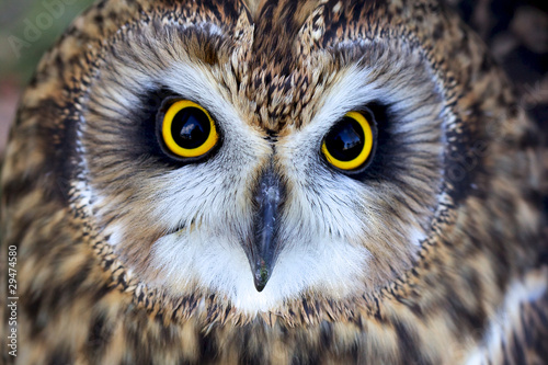 close portrait of a short eared owl