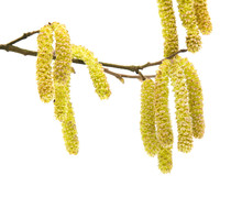 Common Hazel; Branch With Male Catkins (aments)