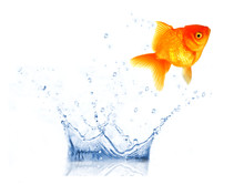 GOlden Fish Carassius Auratus Jumping From Aquarium