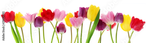 Aluminium Prints Floral Spring tulip flowers in a row