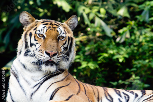 Bengal tiger in a zoo staring at something