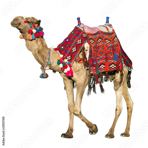 Spoed Foto op Canvas Kameel The lonely domestic camel on white.