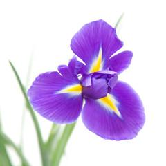 beautiful dark purple iris flower isolated on white background;