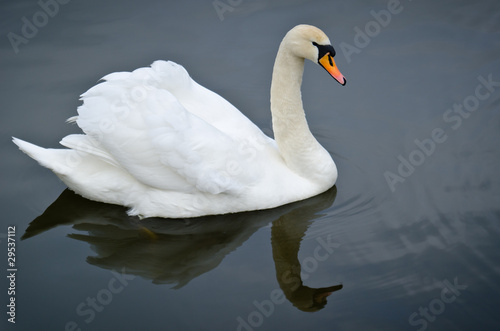 Poster Cygne Mute Swan on a pond