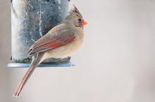 Female Cardinal Sits On The Bird Feeder