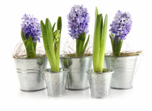 Purple Hyacinth In Aluminum Po...